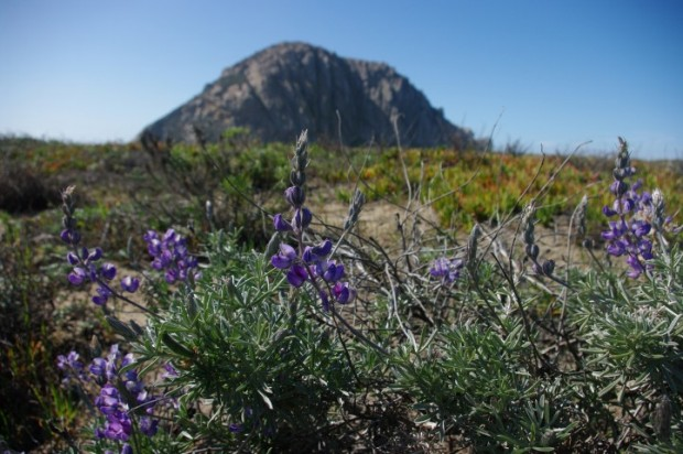 Morro Rock with lupines.