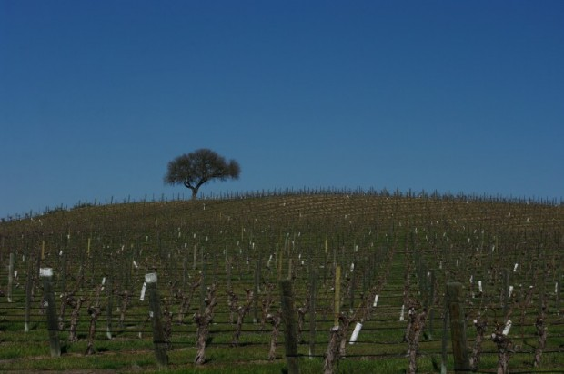 The hilltop vineyard at J. Lohr.