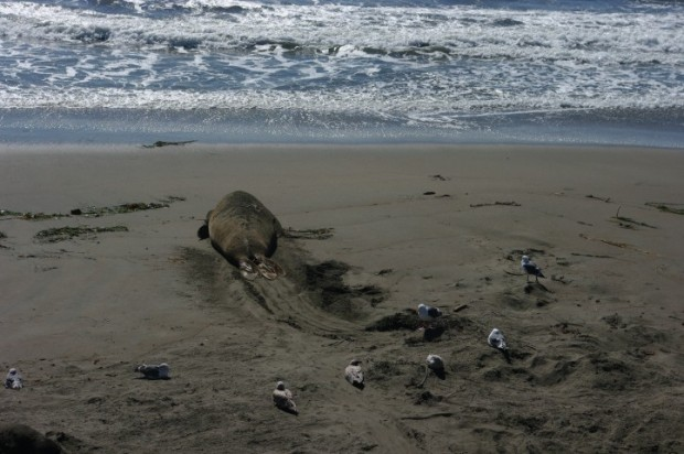 This sea elephant looked especially forlorn.