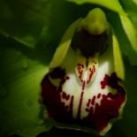 Super orchid close-up.