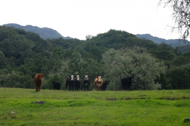 The cows noticed me, then proceeded to stare me down.