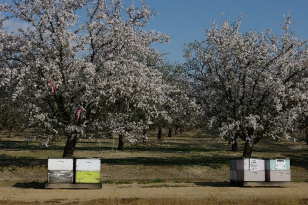 Almond trees and bees near Bakersfield.