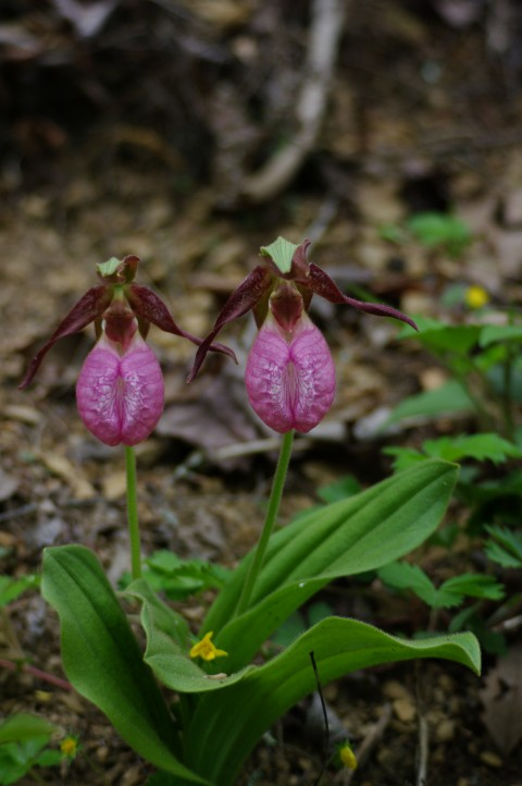 Ladyslippers.