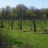 A vineyard on South Bass Island.
