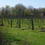 A vineyard on South Bass Island.