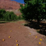 The orchard at Lee's Ferry. The apricots were delicious.