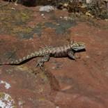 A grumpy lizard.
