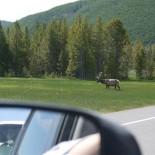 Look, an elk!
