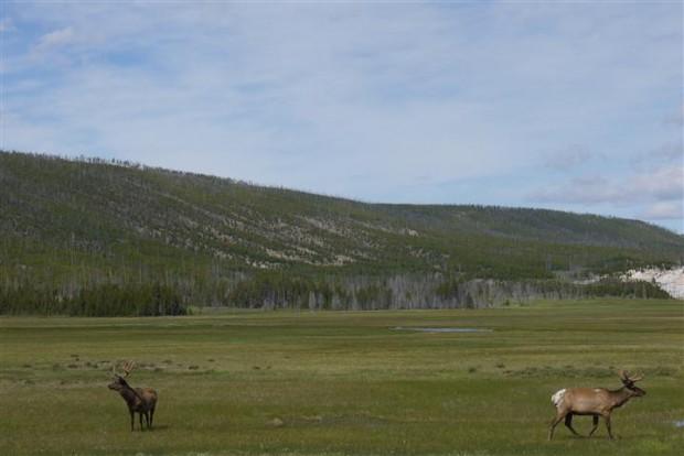 Male elk.