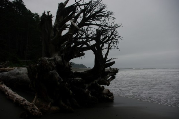A giant tree on Second Beach.