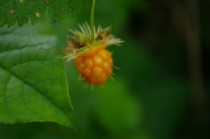 Yum...a salmonberry.