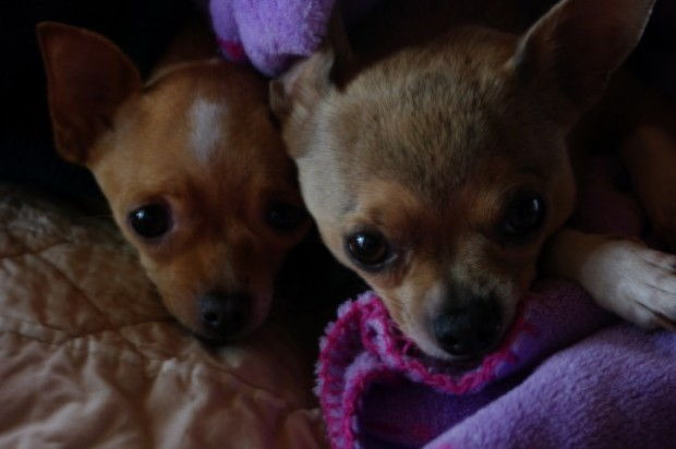 I've fallen in love with chihuahuas, thanks to these two.