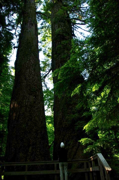 Twin thousand year old firs.