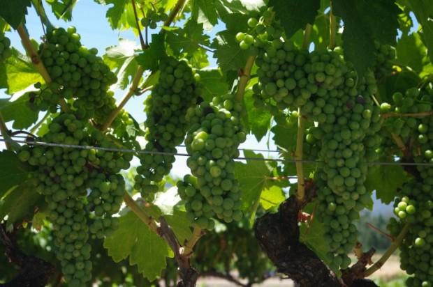 Grapes at Kenwood.
