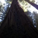 The Redwoods of California