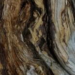 Bristlecone pine close-up.