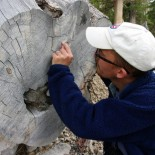 Paul counting Bristlecone growth rings.