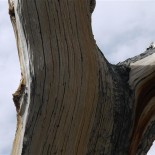 Bristlecone close up. [pdo]