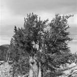 B&W bristlecone pine. [pdo]
