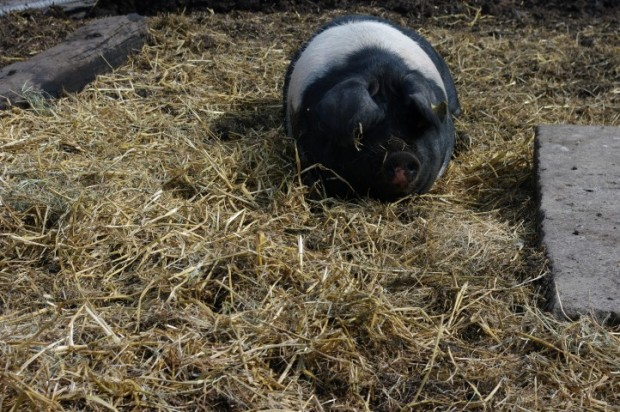 A cute pig at the Hackney City Farm.